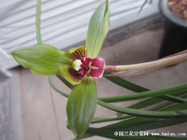 豆瓣圆舌红舌斑 无香 ,漂亮草型 4苗1花