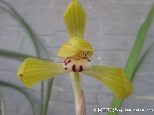 极黄玉小荷,无香 豆瓣兰 刚下山3苗1花