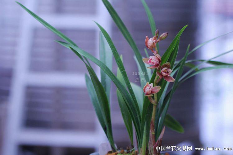大汉虹荷,建兰_白玉堂~红荷冠~胭脂红素~-建兰篇-中国兰花交易网社区