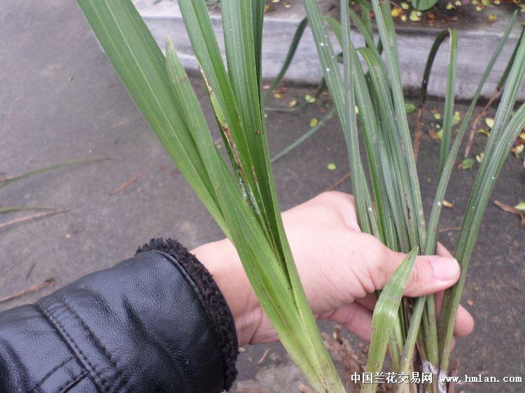 自然下山蕙兰头型草 159